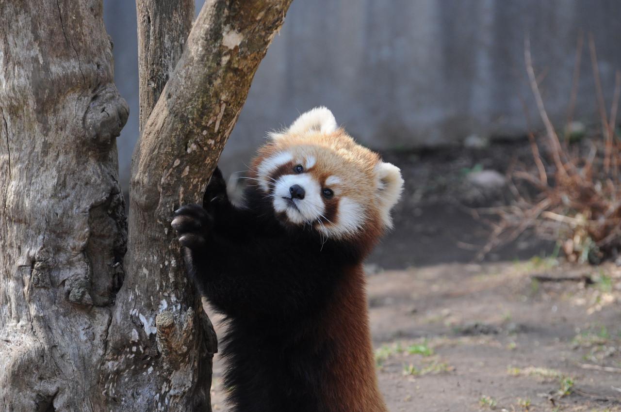 立つ練習中のレッサーパンダ1