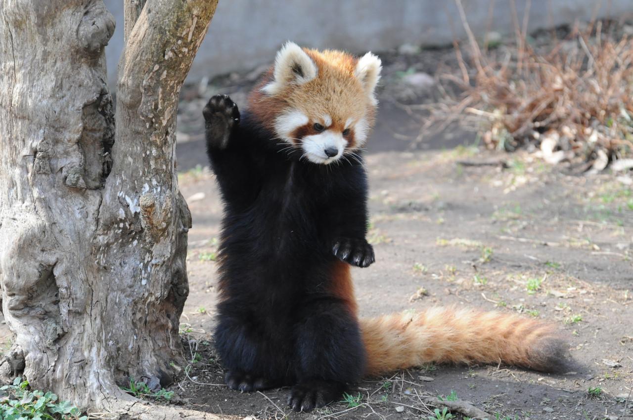 立つ練習中のレッサーパンダ2