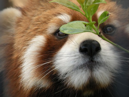 レッサーパンダの画像 p1_26