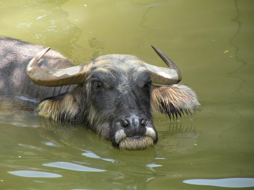 アジアスイギュウ,Asiatic Water Buffalo