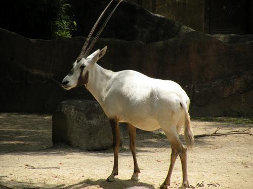 アラビアオリックス,Arabian oryx