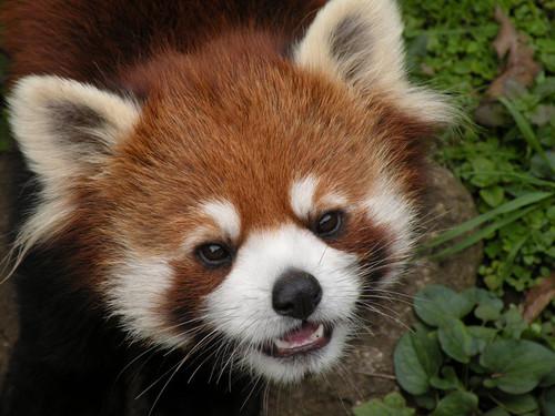 ちょっと笑顔のレッサーパンダ