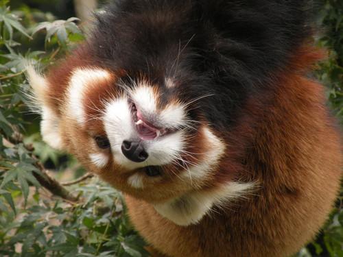 逆さのレッサーパンダ