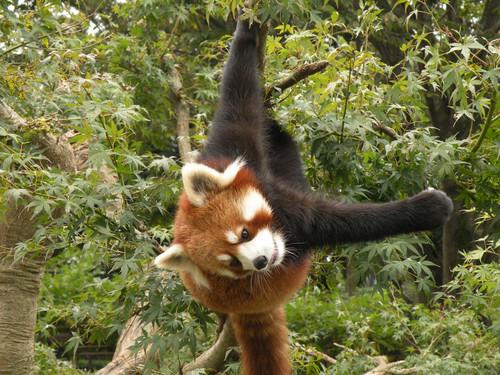 ぶら下がるレッサーパンダ