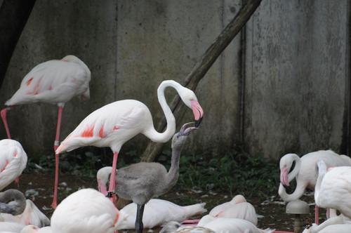 オオフラミンゴ,Greater Flamingo
