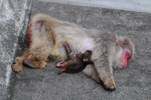 ニホンザル,Japanese Macaque