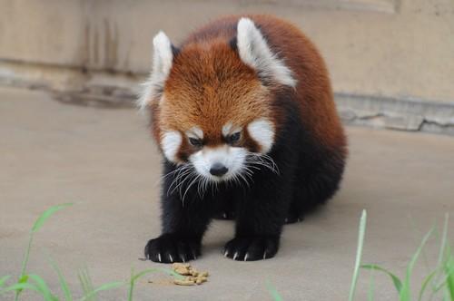 レッサーパンダ,Red panda