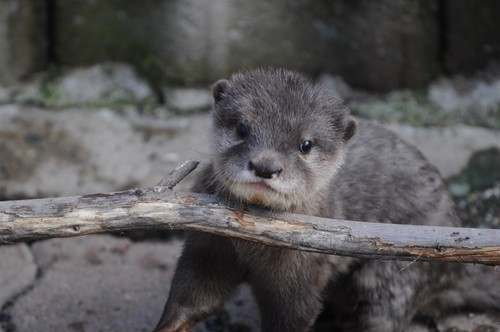 コツメカワウソ,Oriental Small-clawed Otter