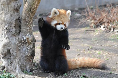 レッサーパンダの画像 p1_38