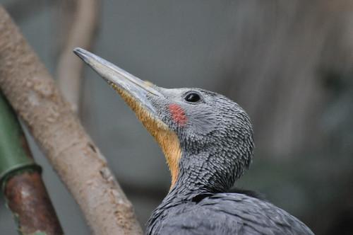 ボウシゲラ,Great Slaty Woodpecker