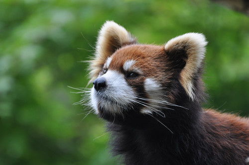 レッサーパンダの画像 p1_13