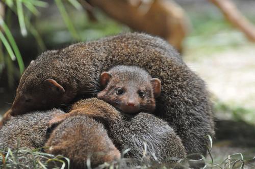 コビトマングース,Dwarf Mongoose