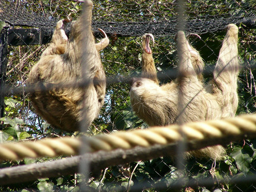 上野動物園のホフマンナマケモノ