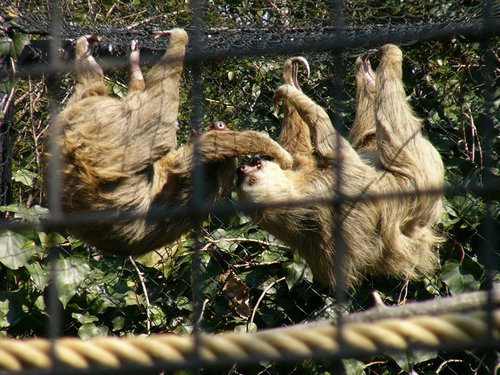 上野動物園のホフマンナマケモノの喧嘩