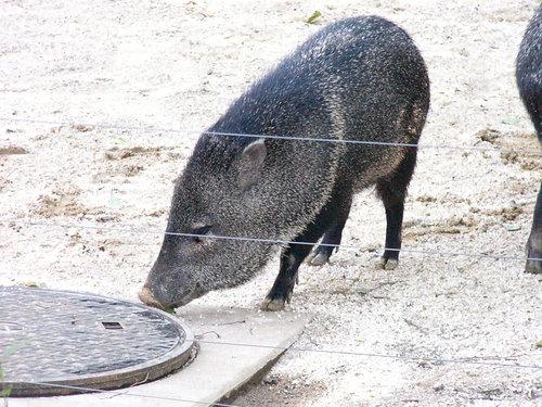 上野動物園 クビワペッカリー