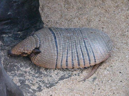 サンシャイン国際水族館のムツオビアルマジロ