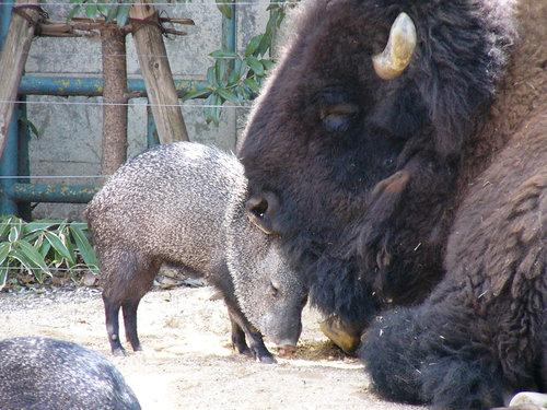 上野動物園 クビワペッカリーとアメリカバイソンは友達
