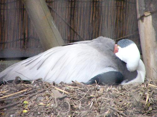 ホオカザリヅル