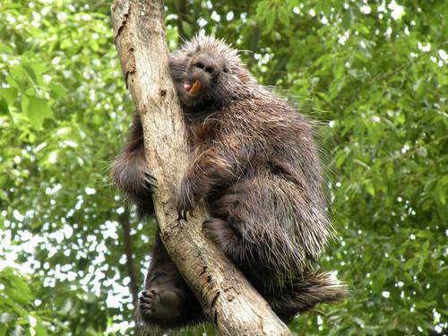 カナダヤマアラシ,North American porcupine