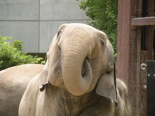アジアゾウ,Asian Elephant