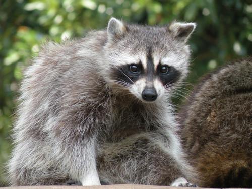 アライグマ,Common raccoon