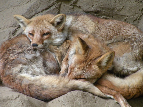 ホンドギツネ,Japanease Red Fox