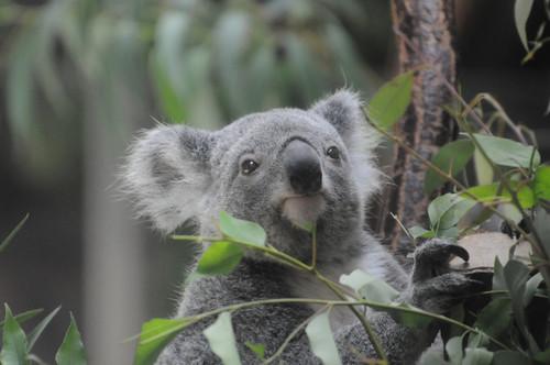 コアラ,Koala