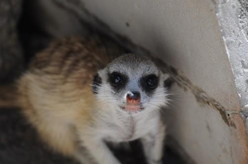 ミーアキャット,Meerkat