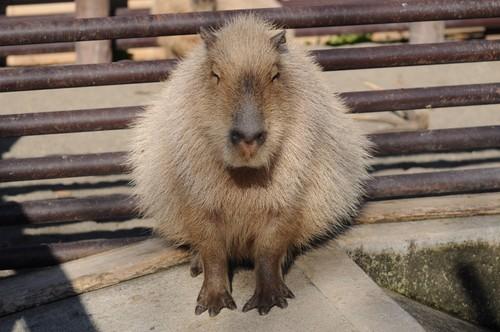 カピバラ,Capybara